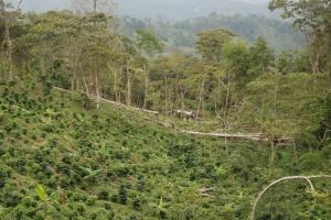 Plantacion de cafe en sombra